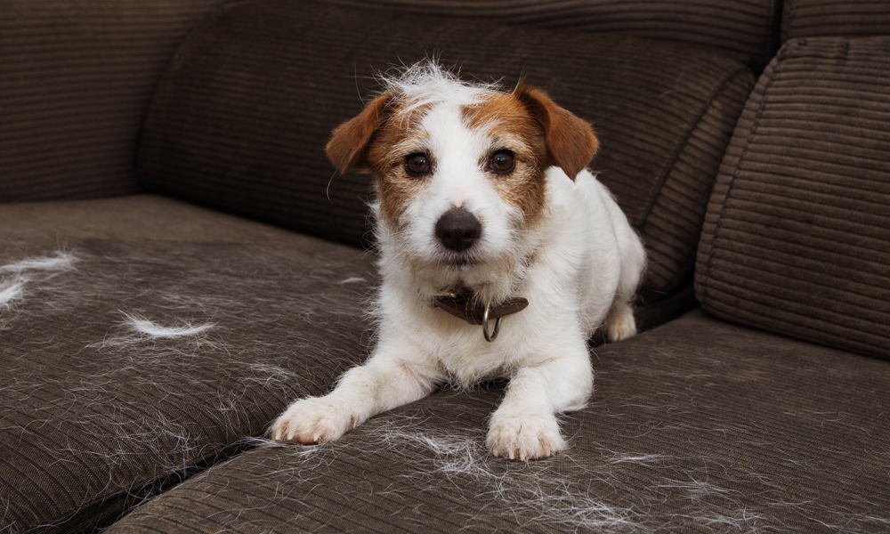 Hair, hair everywhere: Why is my dog shedding so much?